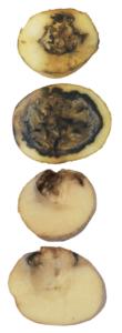 Dickeya dianthicola