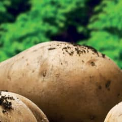 Seed Potatoes wanted – Greymouth Nursery