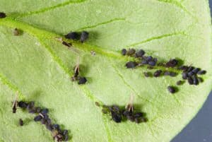 Black Bean Aphids on potato plant leaf