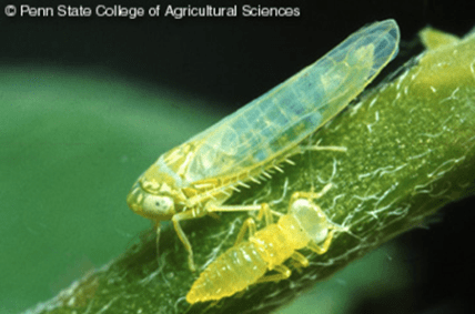 Potato leafhopper adult and nymph